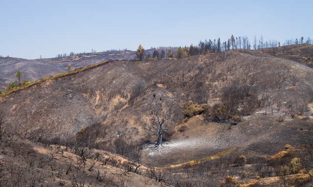 An oak woodland landscape completely scorched after a wildfire.