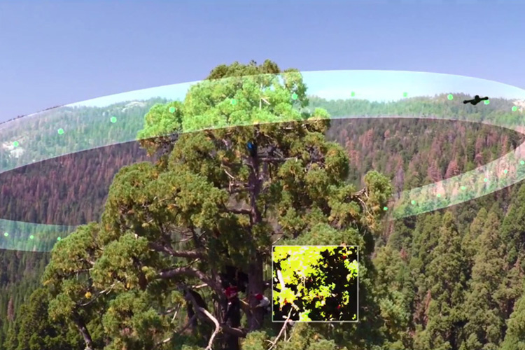 A drone flies around a giant sequoia