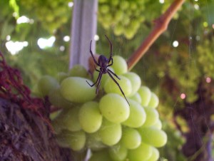 Black widow spider on grapes