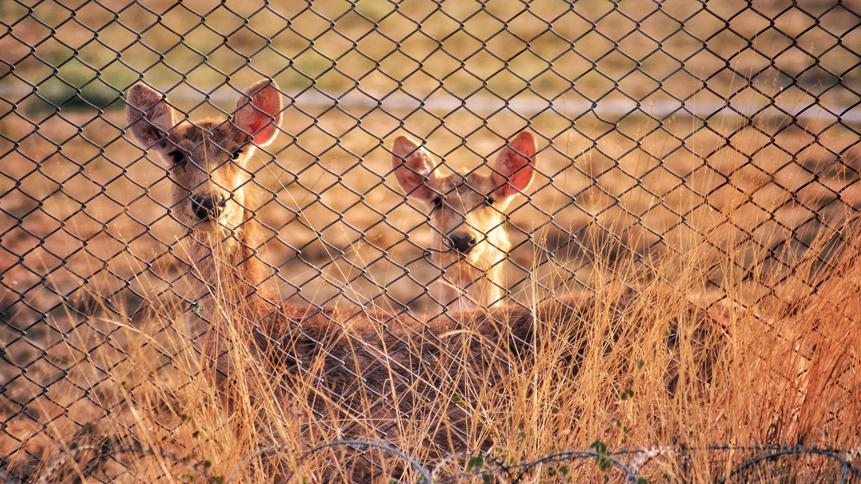 Deer behind fences