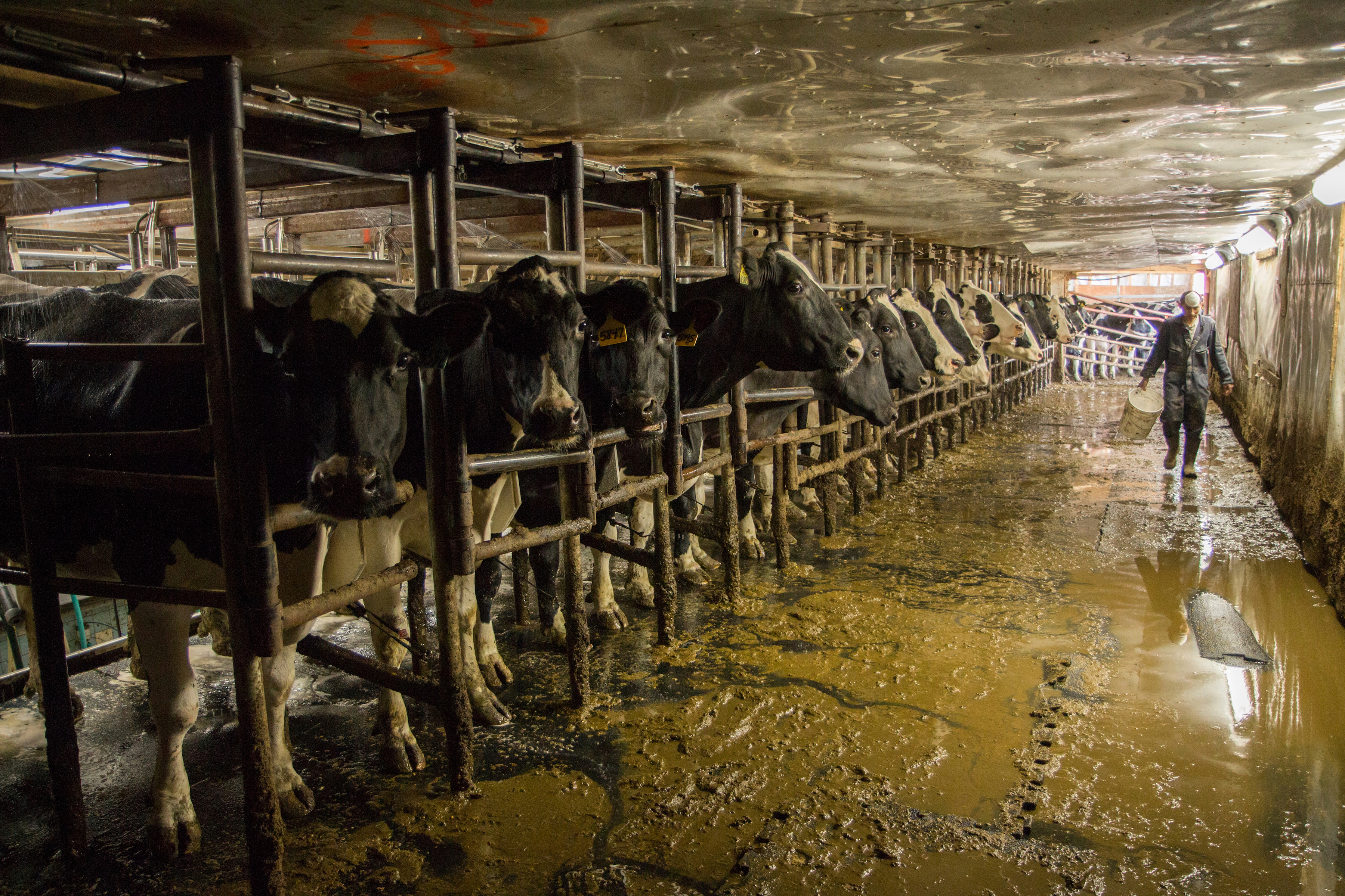 dairy cows in barn with farmworker
