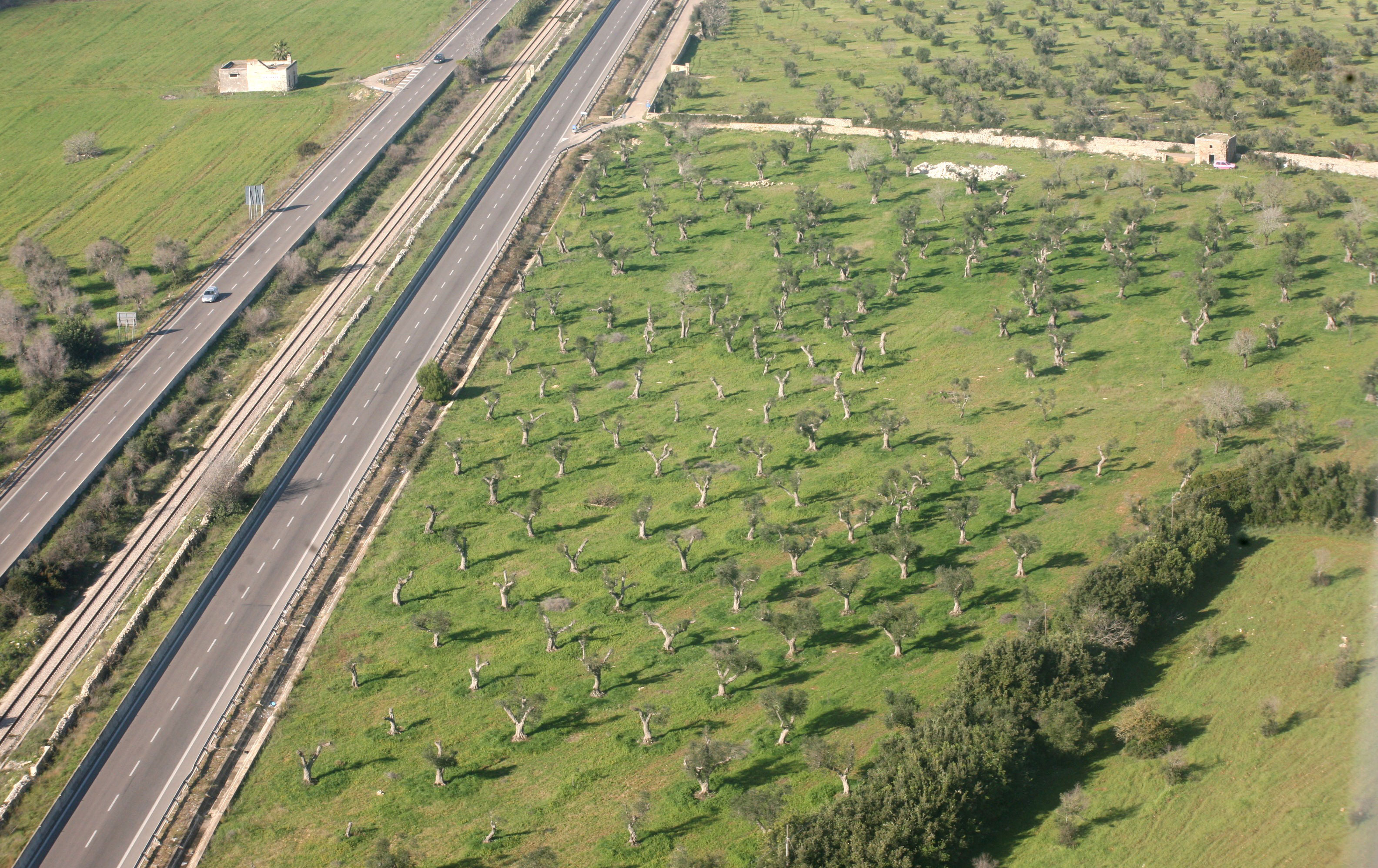 Olive trees beside a highway in Italy