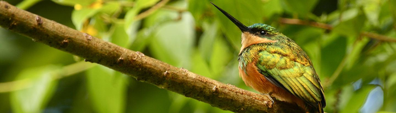 The Rufous-tailed Jacamar (Galbula ruficauda)