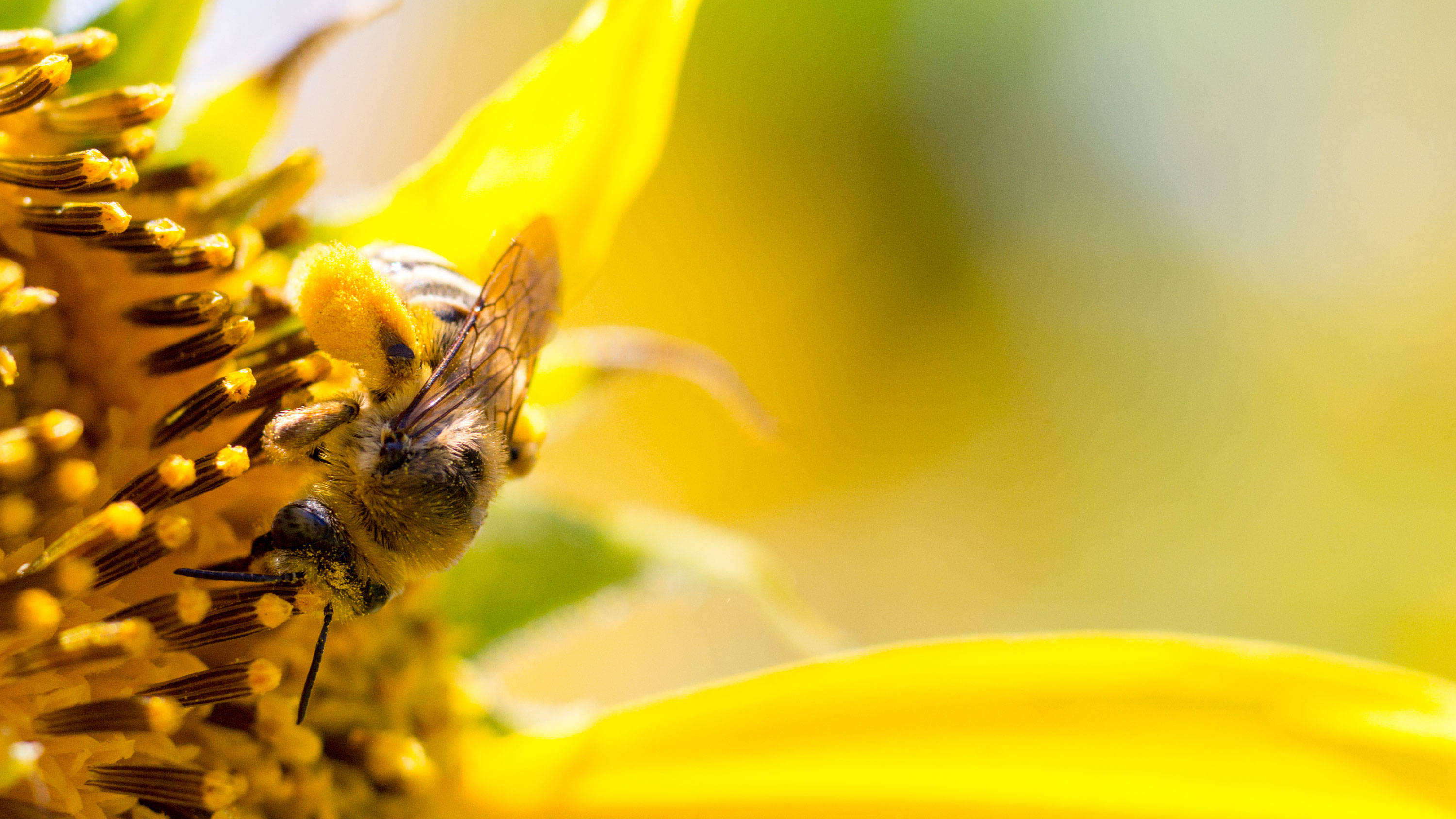 Bee on bright yellow flower
