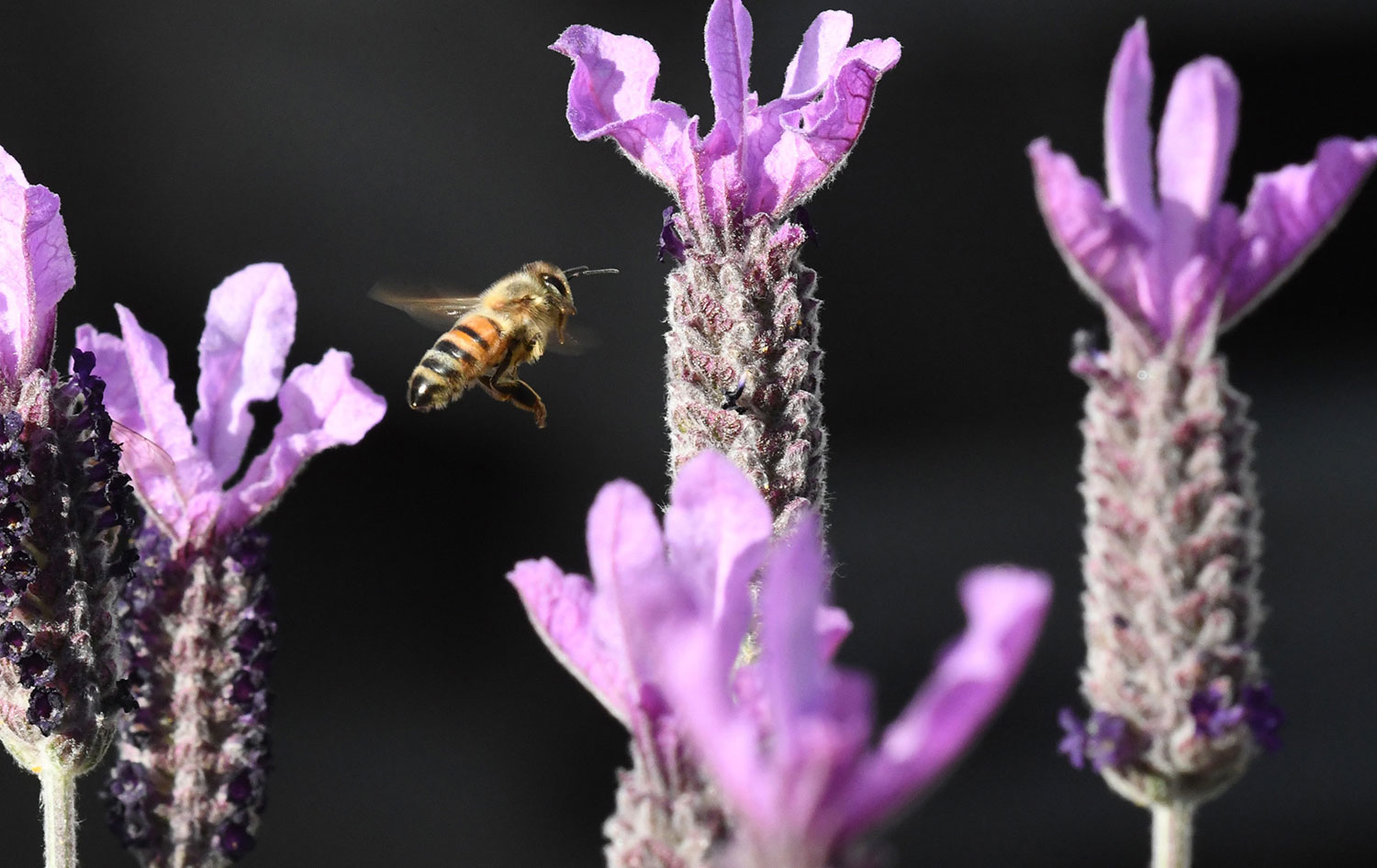 A bee hovers among purple flowers