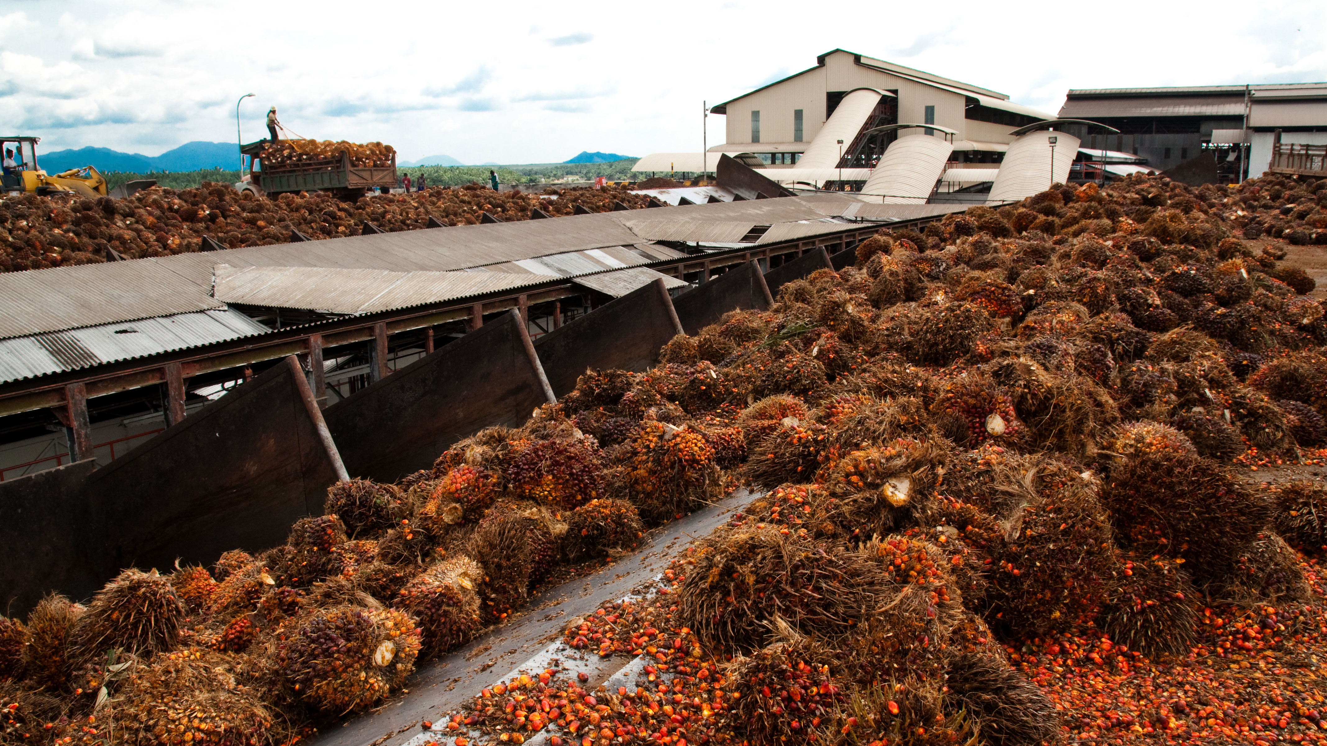 Palm processing production plant with fruit in foreground