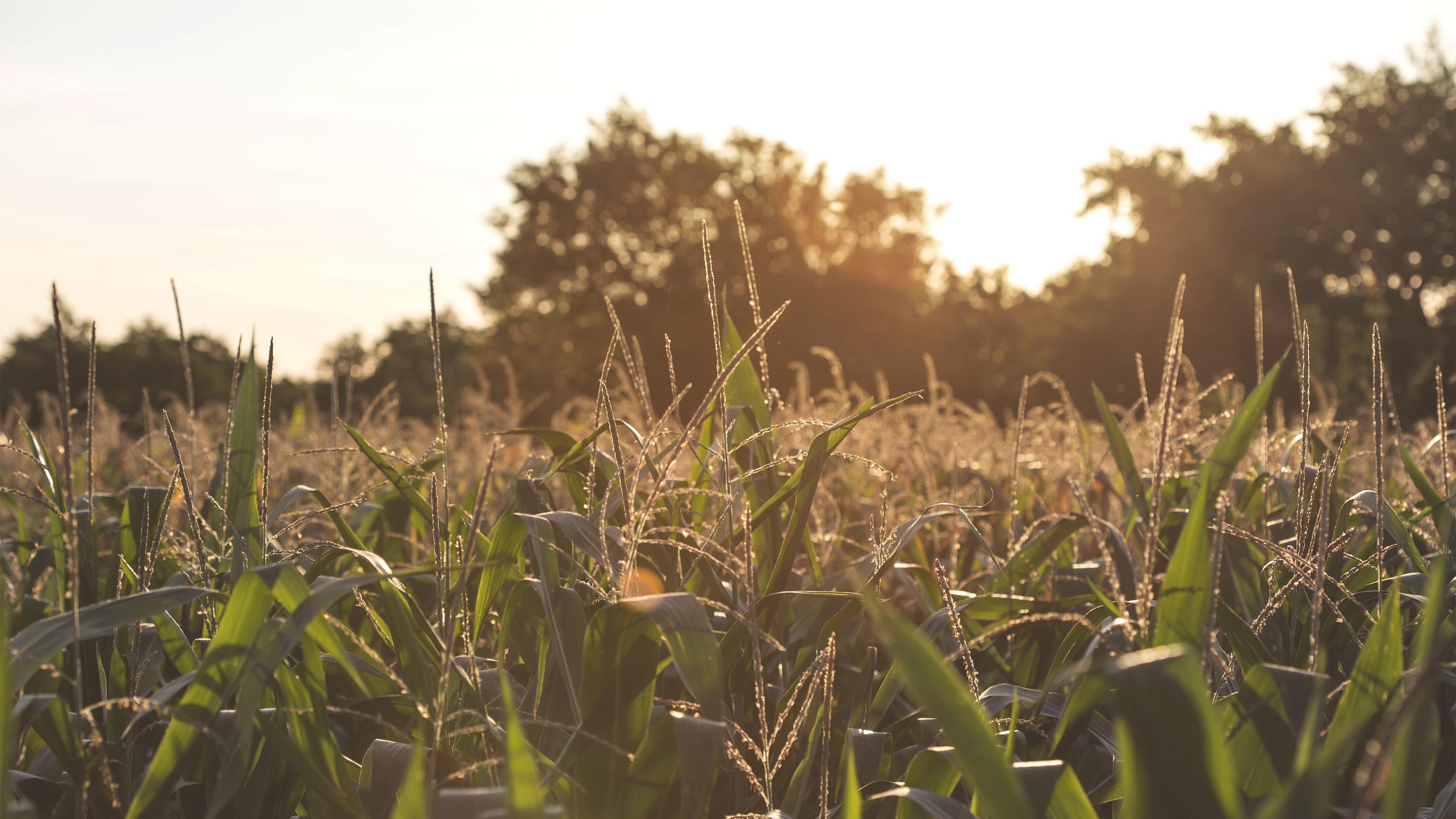 An expansive field of corn
