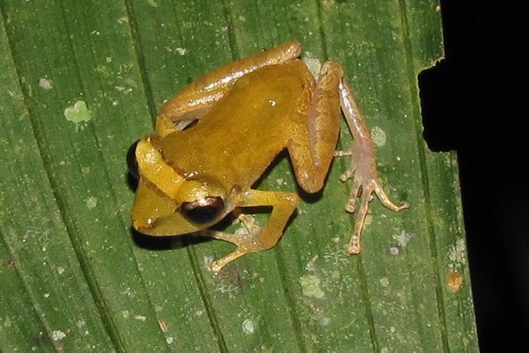 The Pygmy Main Frog