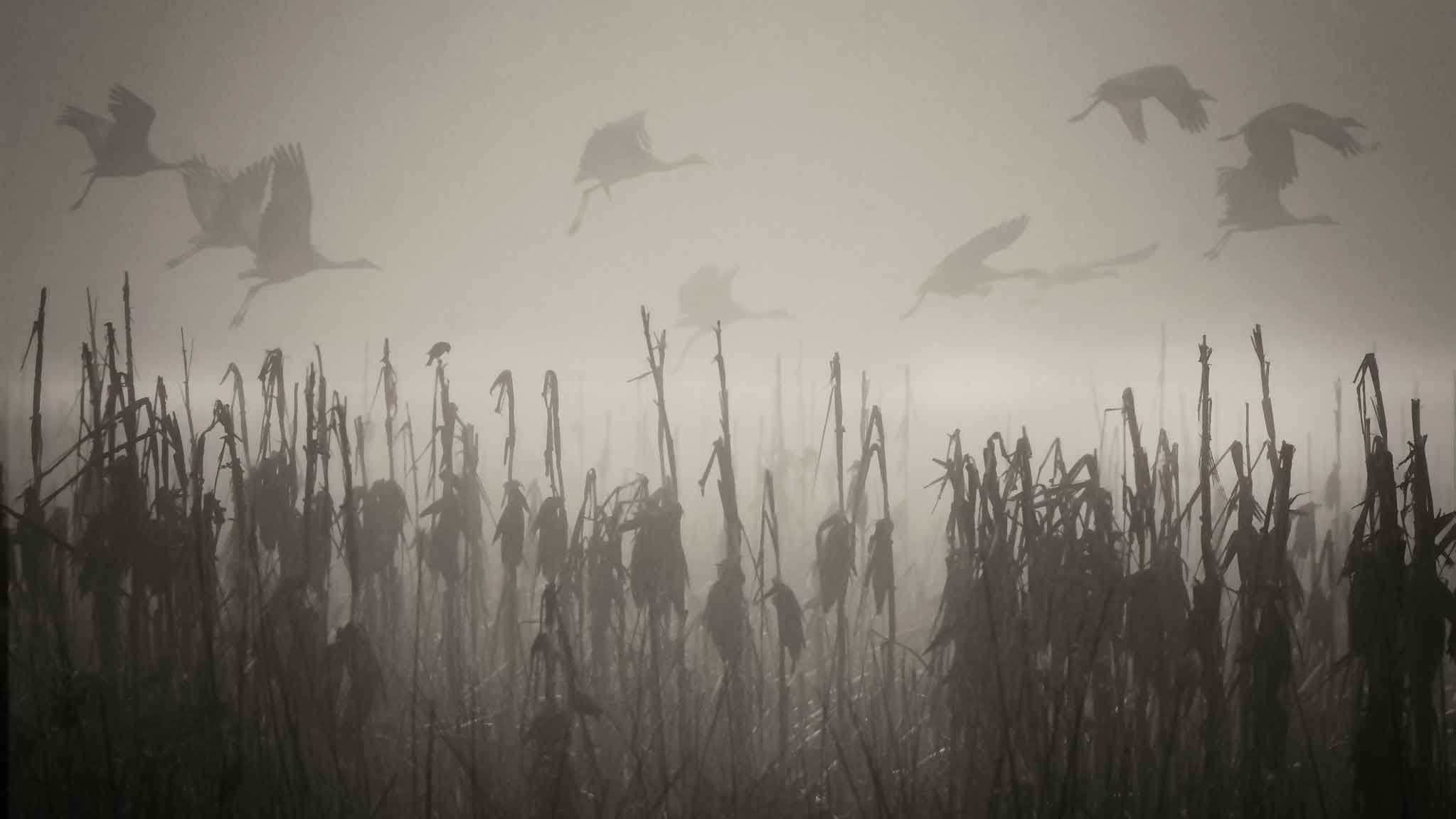 cranes fly through a field covered in fog