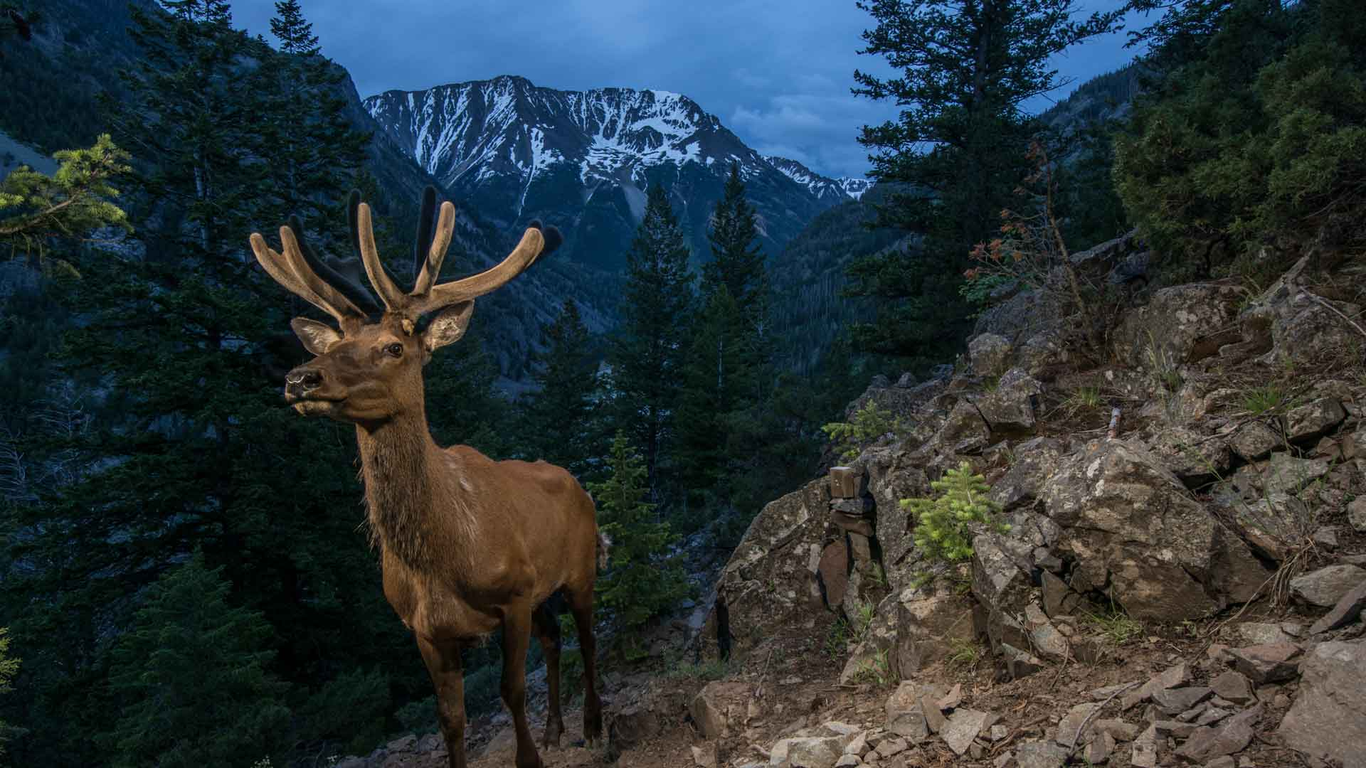 an elk stands on a steep slope at dusk with a mountain range in the distance. Photo by Joe Riis