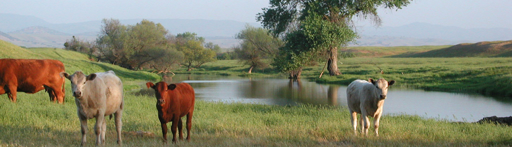 Image of cows near a pond