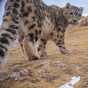 A camera trap caught an image of a snow leopard in China