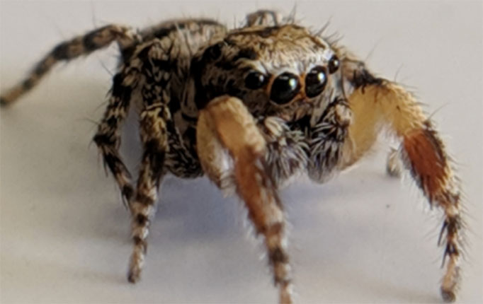 Close up of jumping spider