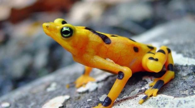 a harlequin frog
