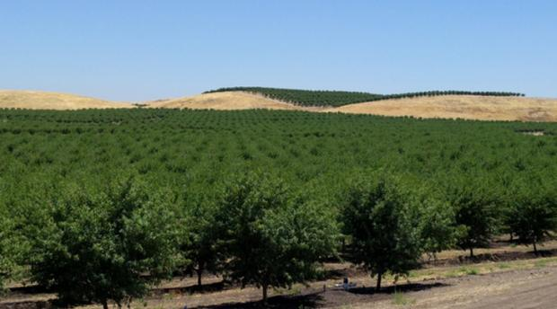 Photo of almond trees.