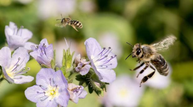 Bees flying toward purple flowers