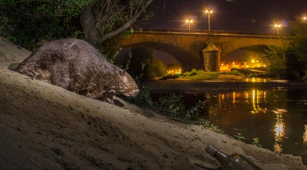 A European beaver approaches a river in an urban area at night