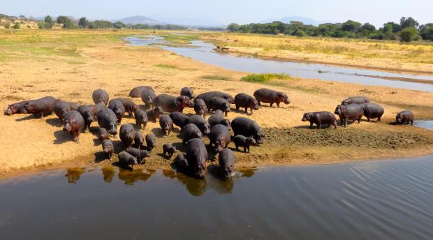 Hippos gather in a river