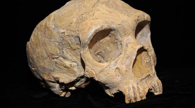 Neanderthal skull.