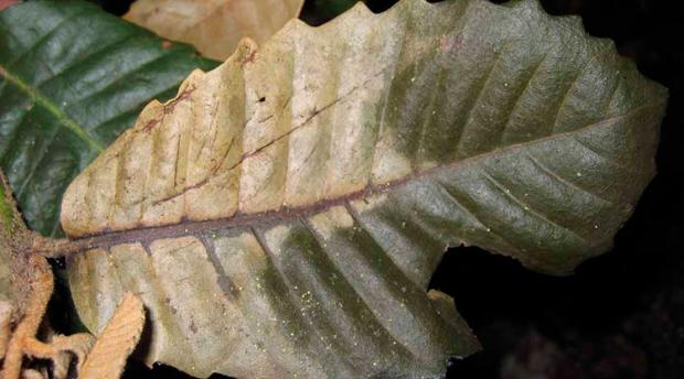 Large leaf, yellowed at the bottom.