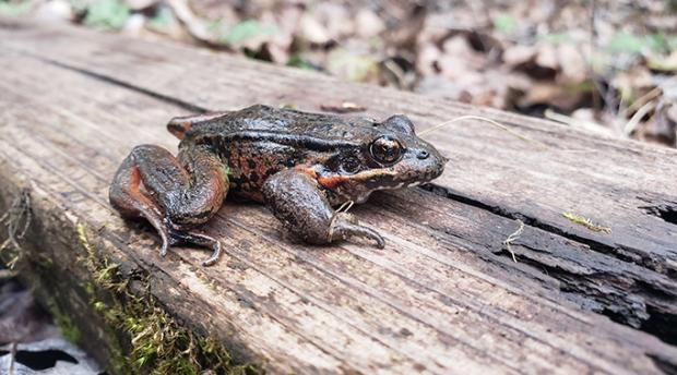 A red legged tree frog on a piece of wood