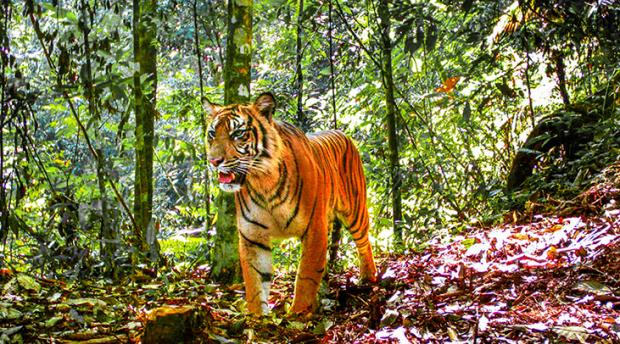 A tiger poses for a camera trap in Sumatra.