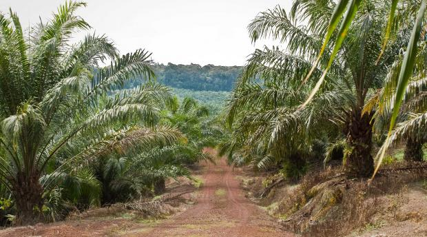 View from oil palm trees to Pasoh Research Forest