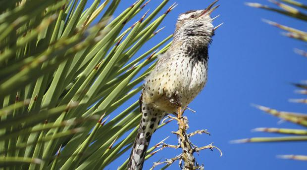 Photo of a cactus wren.