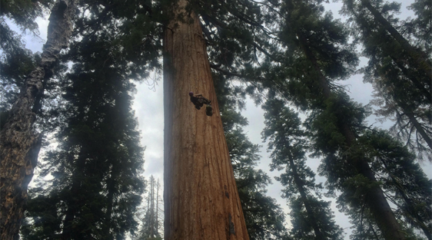 Researcher climbing high in a gian sequioa tree
