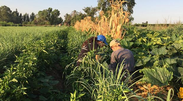 Research interns Jennifer Becerra and Marissa Chase collecting plant and soil samples on a polyculture farm