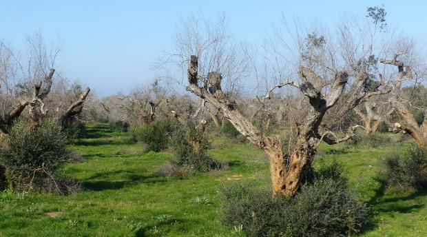 An orchard of olive trees infected by Xylella fastidiosa.