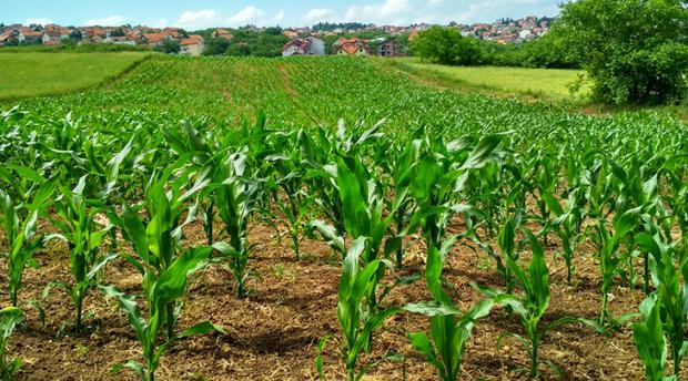 Photo of crops.