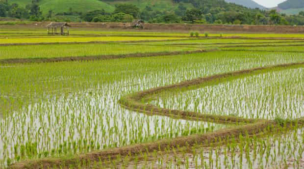 A rice paddy