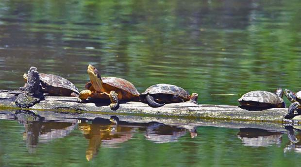 Turtles on a log in a pond.
