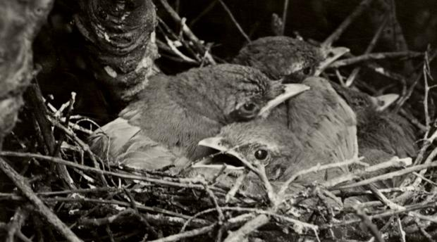 Black and white photo of scrubjays