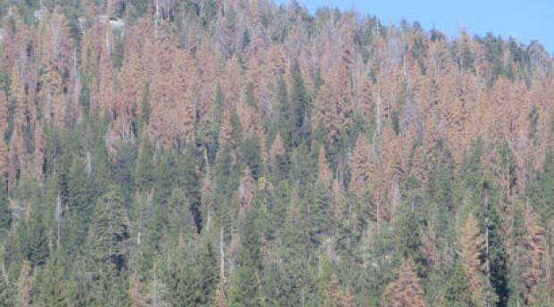dead trees in the sierras