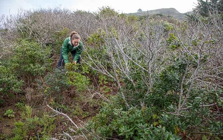 A woman clears out dead plants in a California restoration site