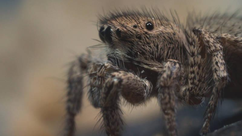 A jumping spider female looks on as a male attempts to court her. (Josh Cassidy/KQED)