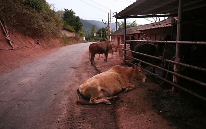 Cows by a roadside