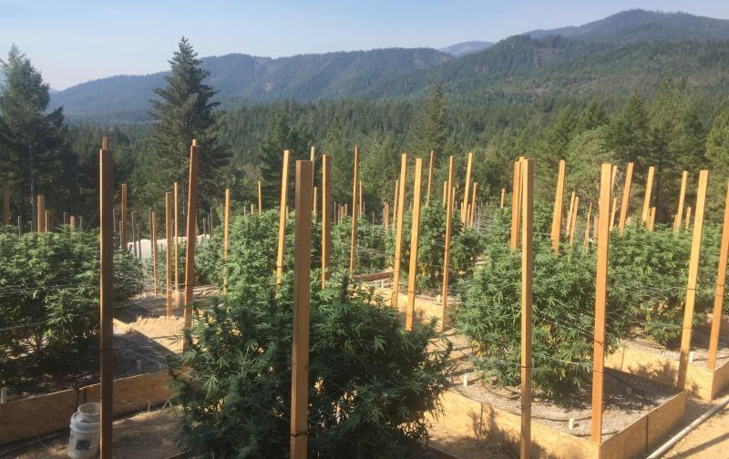 Marijuana plants in a cannabis farm.