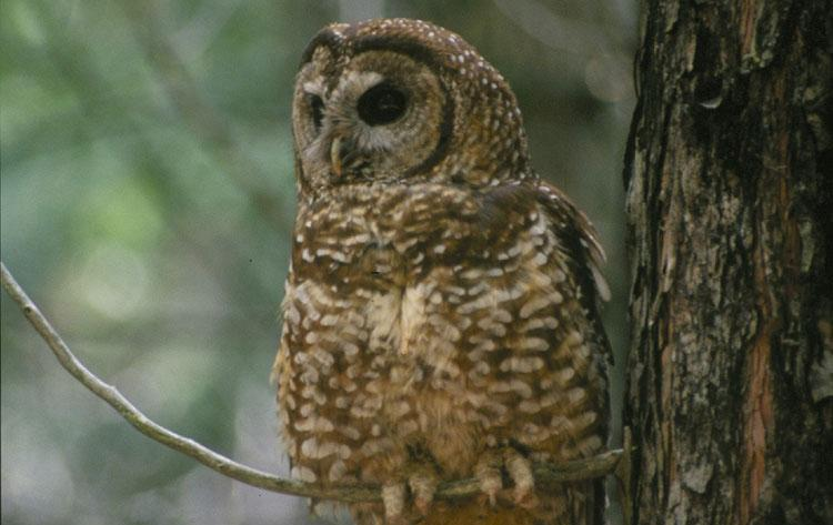 A spotted owl sitting in a tree
