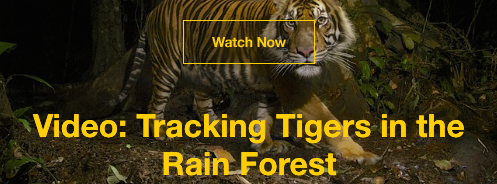 Nat Geo tiger story
