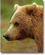 Image of a Bear