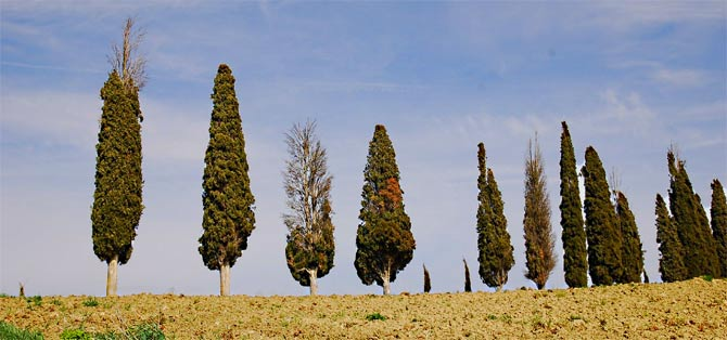 A row of infected Italian cypress trees