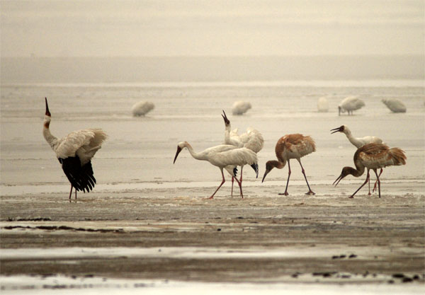Adult and juvenile Siberian Cranes at one of the sublakes of Poyang Lake in January 2011 after heavy snowstorms. Photo by Iyrna Dronova.