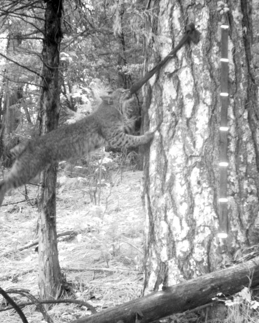 A bobcat leans against a tree to get the bait.