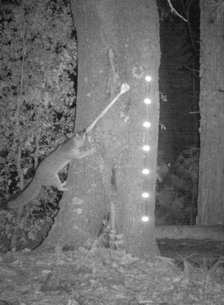 A fox also climbs a tree for the bait.