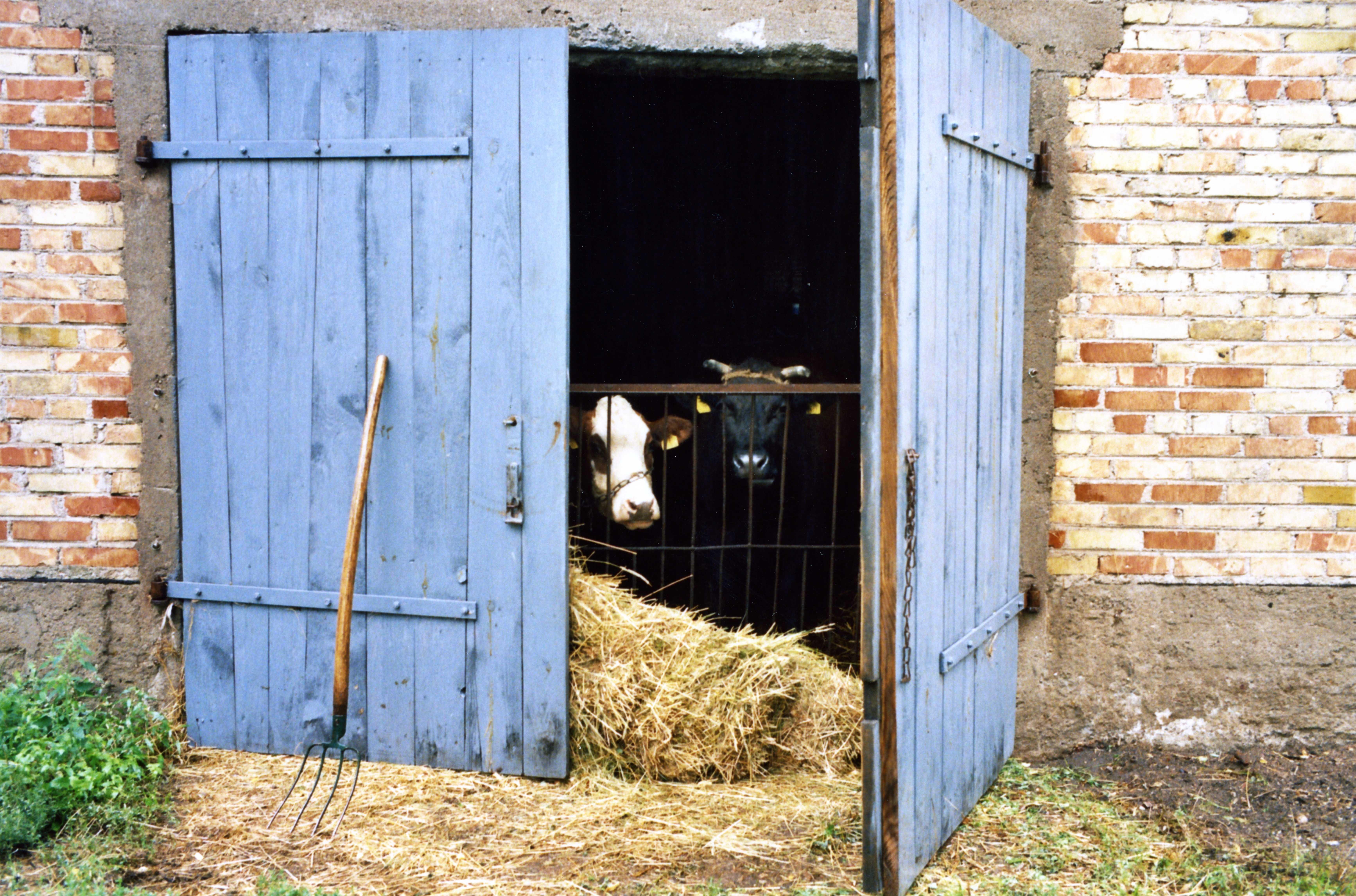 Cow in a manger