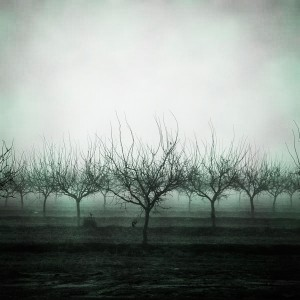foggy orchard