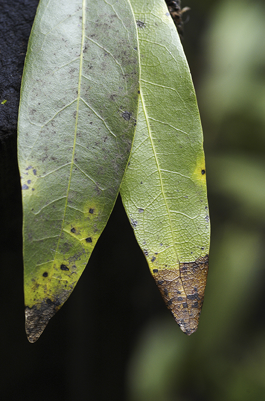infected bay laurel leaf